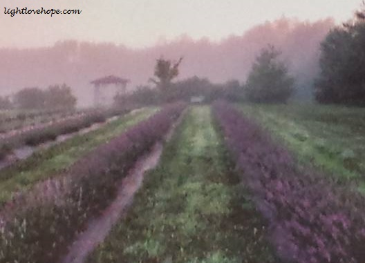 purple fields of wonder1